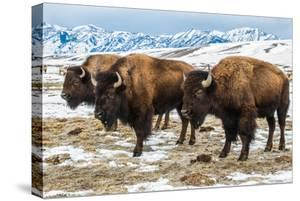 Bison in the 24,700-Acre National Elk Refuge Near Jackson, Wyoming by Charlie James