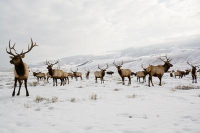 Elk in the 24,700-Acre National Elk Refuge Near Jackson, Wyoming by Charlie James