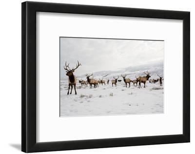 Elk in the 24,700-Acre National Elk Refuge Near Jackson, Wyoming