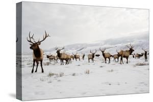 Elk in the 24,700-Acre National Elk Refuge Near Jackson, Wyoming by Charlie James