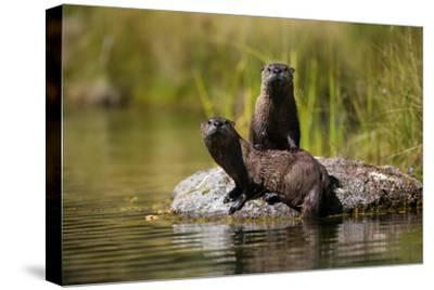 North American River Otters in Ely Springs