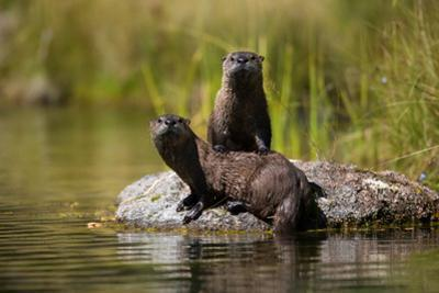 North American River Otters in Ely Springs by Charlie James