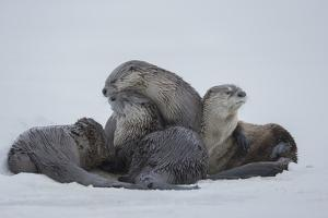 North American River Otters on the Frozen Snake River in Grand Teton National Park by Charlie James