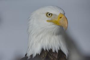 Portrait of Bald Eagle in Grand Teton National Park by Charlie James
