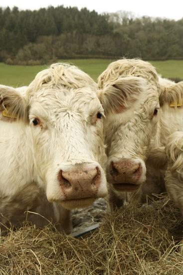 Charolais Cattle Eating Hay--Photographic Print