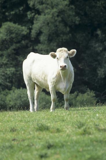 Charolais Cow-David Aubrey-Photographic Print