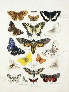 Chart Illustrating Butterflies and Moths, England, 19th Century