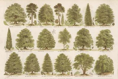 Chart of British Forest Trees