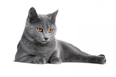 https://imgc.artprintimages.com/img/print/chartreux-cat_u-l-pzs0oz0.jpg?p=0