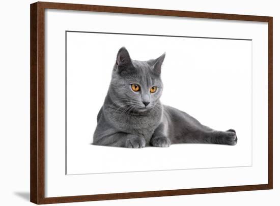 Chartreux Cat-Fabio Petroni-Framed Photographic Print