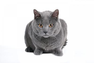 Chartreux Cat-Fabio Petroni-Photographic Print