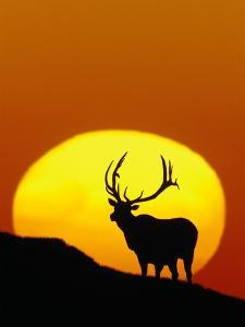 Bull Elk Outlined by Sun by Chase Swift