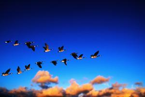 Canada Geese Flying at Sunrise by Chase Swift