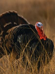 Turkey Showing Mating Display by Chase Swift