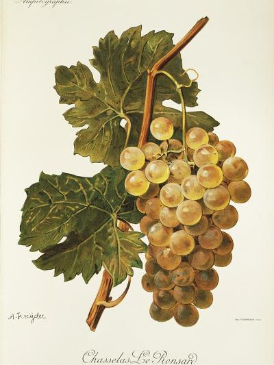 Chasselas Le Ronsard Grape-A. Kreyder-Giclee Print
