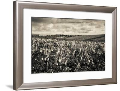 Chateau Lafite Rothschild Vineyards in Autumn, Pauillac, Haut Medoc, Gironde, Aquitaine, France--Framed Photographic Print