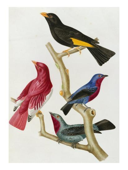 Chatterer Birds, c.1852-1856-Jean-Theodore Descourtilz-Giclee Print