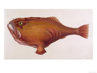 Chaunax Pictus Red Angler Fish--Giclee Print