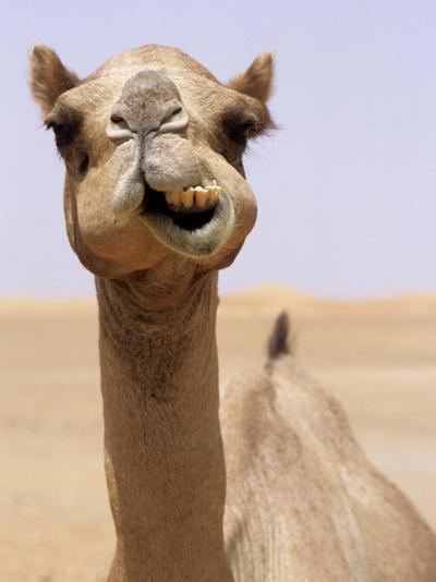 Cheeky Dubai Camel in Desert, Dubai, United Arab Emirates-Holger Leue-Photographic Print
