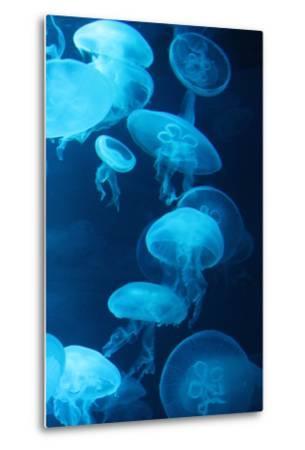 Moon Jellyfish Swim Underwater