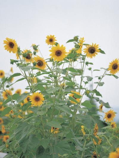 Cheerful Yellow Sunflowers--Photographic Print