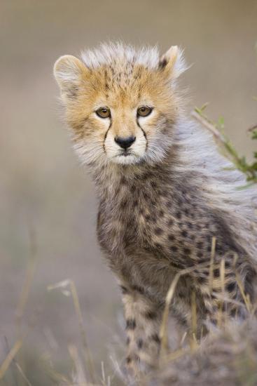 Cheetah 10-12 Week Old Cub--Photographic Print