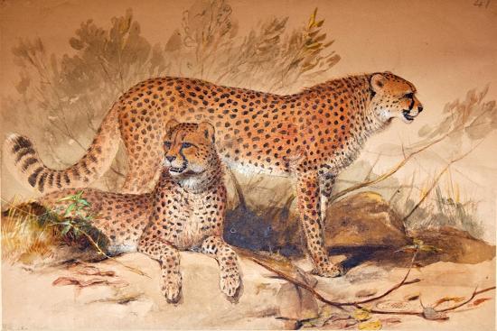 Cheetah, 1851-52-Joseph Wolf-Giclee Print