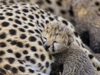 Cheetah (Acinonyx Jubatus) 7 Day Old Cub Resting Against Mother in Nest, Maasai Mara Reserve, Kenya-Suzi Eszterhas/Minden Pictures-Photographic Print