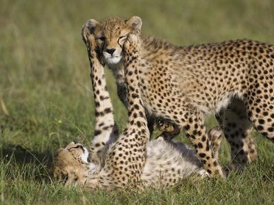 https://imgc.artprintimages.com/img/print/cheetah-acinonyx-jubatus-7-to-9-month-old-cubs-playing-masai-mara-nat-l-reserve-kenya_u-l-peuatb0.jpg?p=0
