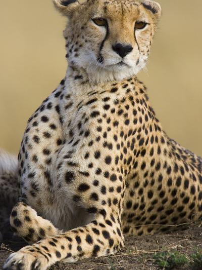 Cheetah (Acinonyx Jubatus) Adult Female Portait, Maasai Mara Reserve, Kenya-Suzi Eszterhas/Minden Pictures-Photographic Print