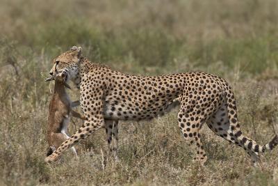 Cheetah (Acinonyx Jubatus) Carrying a Thomson's Gazelle (Gazella Thomsonii) Calf-James Hager-Photographic Print