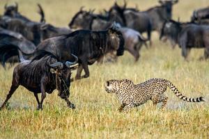 Cheetah (Acinonyx Jubatus) Chasing Wildebeests, Tanzania