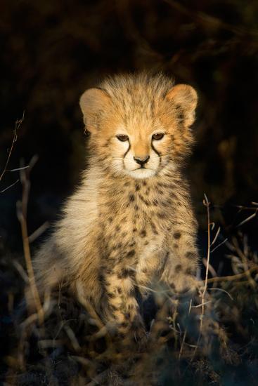 Cheetah (Acinonyx Jubatus) Cub in a Forest, Ndutu, Ngorongoro Conservation Area, Tanzania--Photographic Print