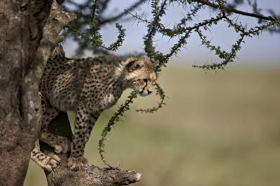 Cheetah (Acinonyx Jubatus) Cub in an Acacia Tree-James Hager-Photographic Print