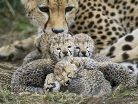 Cheetah (Acinonyx Jubatus) Cubs Curled Up Together in Nest, Maasai Mara Reserve, Kenya-Suzi Eszterhas/Minden Pictures-Photographic Print