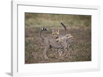 Cheetah (Acinonyx Jubatus) Cubs Playing, Serengeti National Park, Tanzania, East Africa, Africa-James Hager-Framed Photographic Print