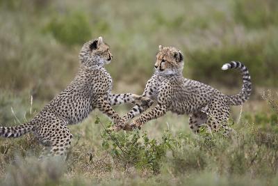 Cheetah (Acinonyx Jubatus) Cubs Playing, Serengeti National Park, Tanzania, East Africa, Africa-James Hager-Photographic Print