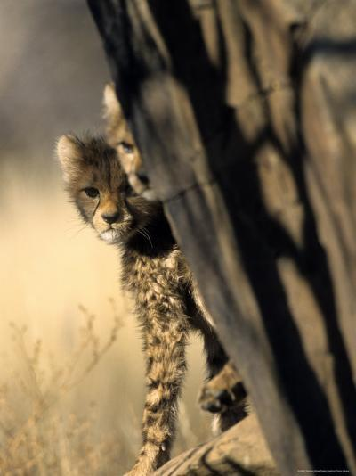 Cheetah, (Acinonyx Jubatus), Duesternbrook Private Game Reserve, Windhoek, Namibia-Thorsten Milse-Photographic Print