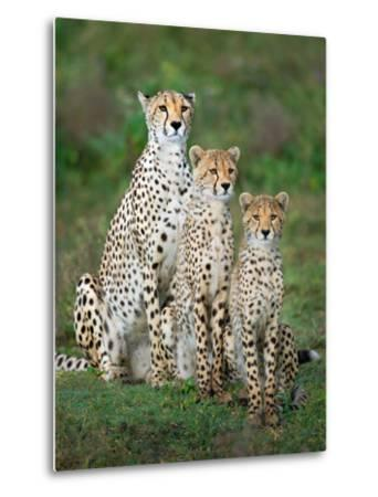 Cheetah (Acinonyx Jubatus) Family, Ndutu, Ngorongoro Conservation Area, Tanzania