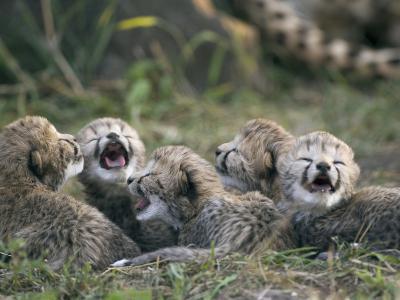 Cheetah (Acinonyx Jubatus) Five Day Old Cubs Calling for Mother, Maasai Mara Reserve, Kenya-Suzi Eszterhas/Minden Pictures-Photographic Print