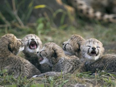 https://imgc.artprintimages.com/img/print/cheetah-acinonyx-jubatus-five-day-old-cubs-calling-for-mother-maasai-mara-reserve-kenya_u-l-peua510.jpg?p=0