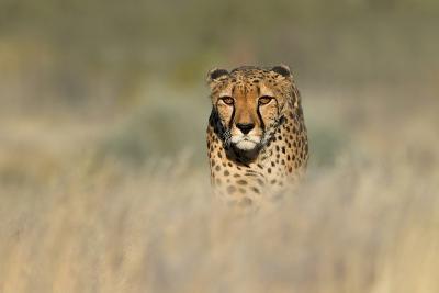 Cheetah (Acinonyx Jubatus) in a Field, Etosha National Park, Namibia--Photographic Print