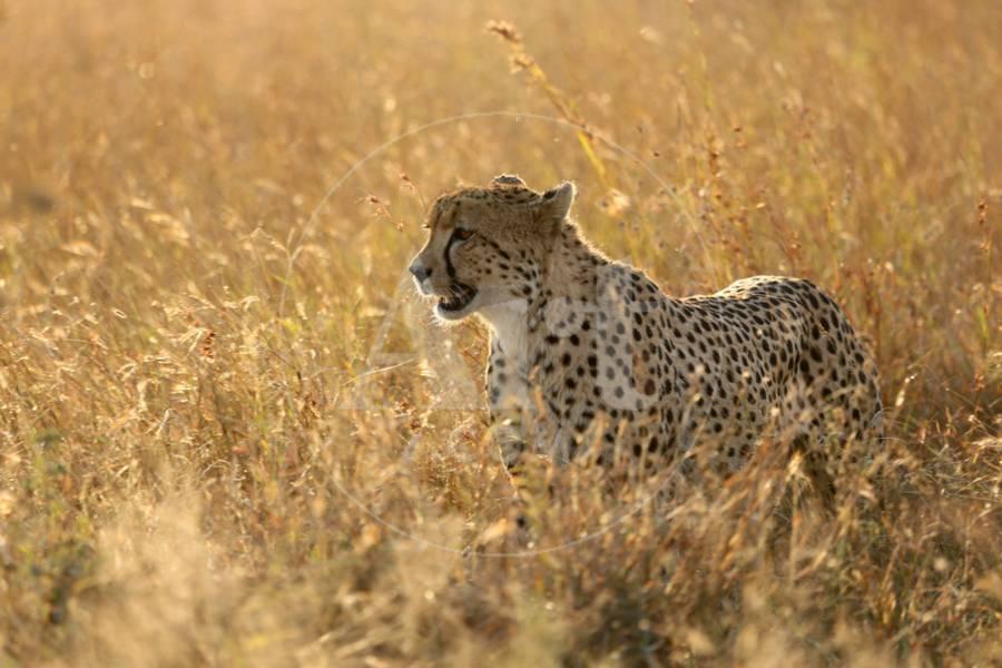 Cheetah Acinonyx Jubatus In Savanna Lower Sabie Kruger National Park South Africa Africa Photographic Print By Godong Art Com