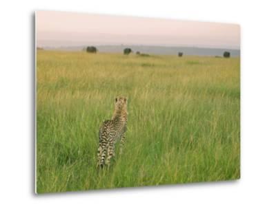 Cheetah (Acinonyx Jubatus) in the Grass, Maasai Mara National Reserve, Kenya-Keren Su-Metal Print
