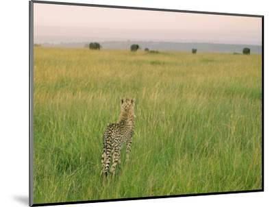 Cheetah (Acinonyx Jubatus) in the Grass, Maasai Mara National Reserve, Kenya-Keren Su-Mounted Photographic Print