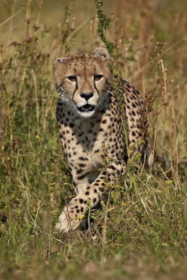 Cheetah (Acinonyx Jubatus), Kruger National Park, South Africa, Africa-James Hager-Photographic Print