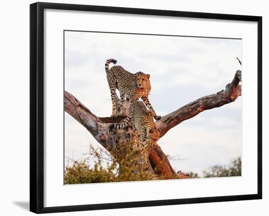 Cheetah (Acinonyx jubatus), Kruger National Park, South Africa, Africa-Christian Kober-Framed Photographic Print