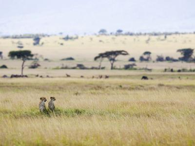 https://imgc.artprintimages.com/img/print/cheetah-acinonyx-jubatus-mother-and-22-month-old-male-cub-masai-mara-nat-l-reserve-kenya_u-l-peuatu0.jpg?p=0