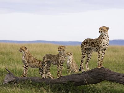 https://imgc.artprintimages.com/img/print/cheetah-acinonyx-jubatus-mother-and-6-month-old-cubs-masai-mara-nat-l-reserve-kenya_u-l-peuaud0.jpg?p=0
