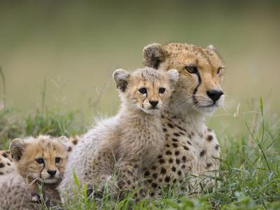 https://imgc.artprintimages.com/img/print/cheetah-acinonyx-jubatus-mother-and-eight-to-nine-week-old-cubs-maasai-mara-reserve-kenya_u-l-peua2x0.jpg?p=0